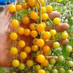 Tomaten Currant Gold Rush
