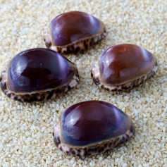 Cypraea arabica purple